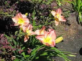Day_lilies_1
